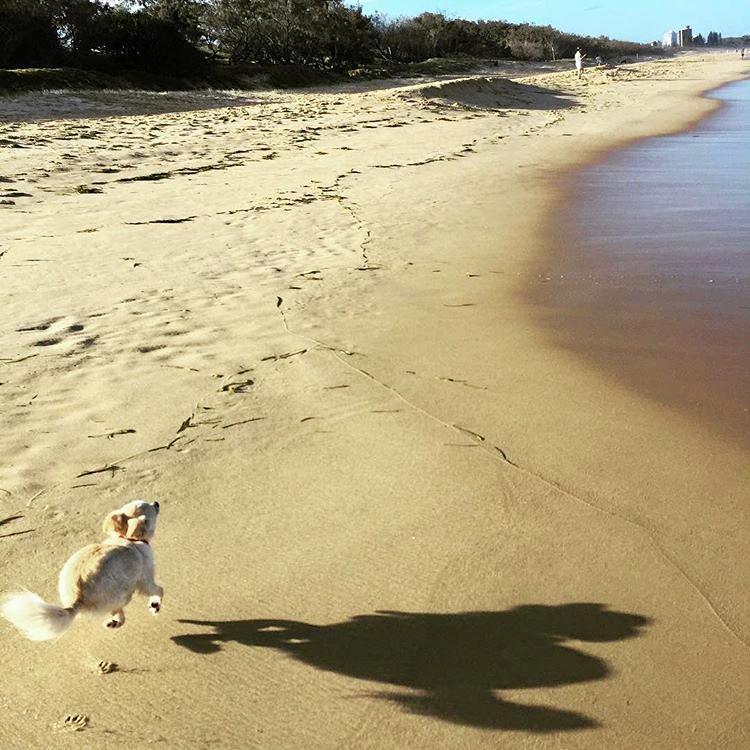 Pancho the Chihuahua enjoying one of the Coast's dog beaches.