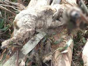 Crushed koala found in logged forest