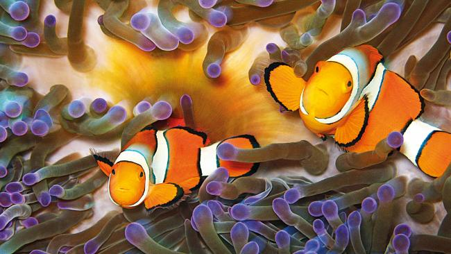 Clownfish on the Great Barrier Reef. Photo courtesy of TTNQ.