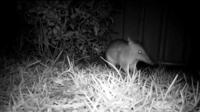 A bandicoot was seen foraging in a Toowoomba backyard.