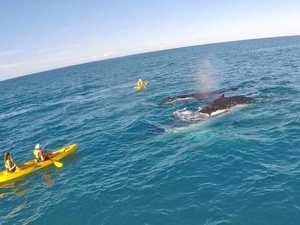 Whales splash it up for visitors in Cooloola waters