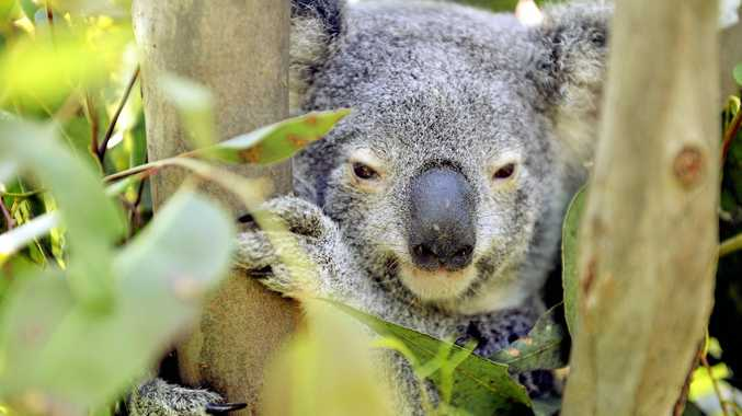 FUNDING: The 3000 to 4000 koalas in Ipswich have been allocated extra funding in the budget.