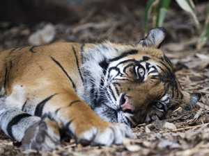 Australia's oldest tiger euthanised