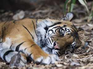 Australia's oldest tiger euthanised