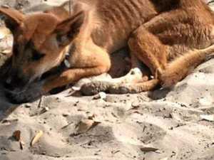 Outrage over dingo euthanasia