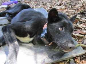 Wild dog walks 500km searching for a mate, disappears