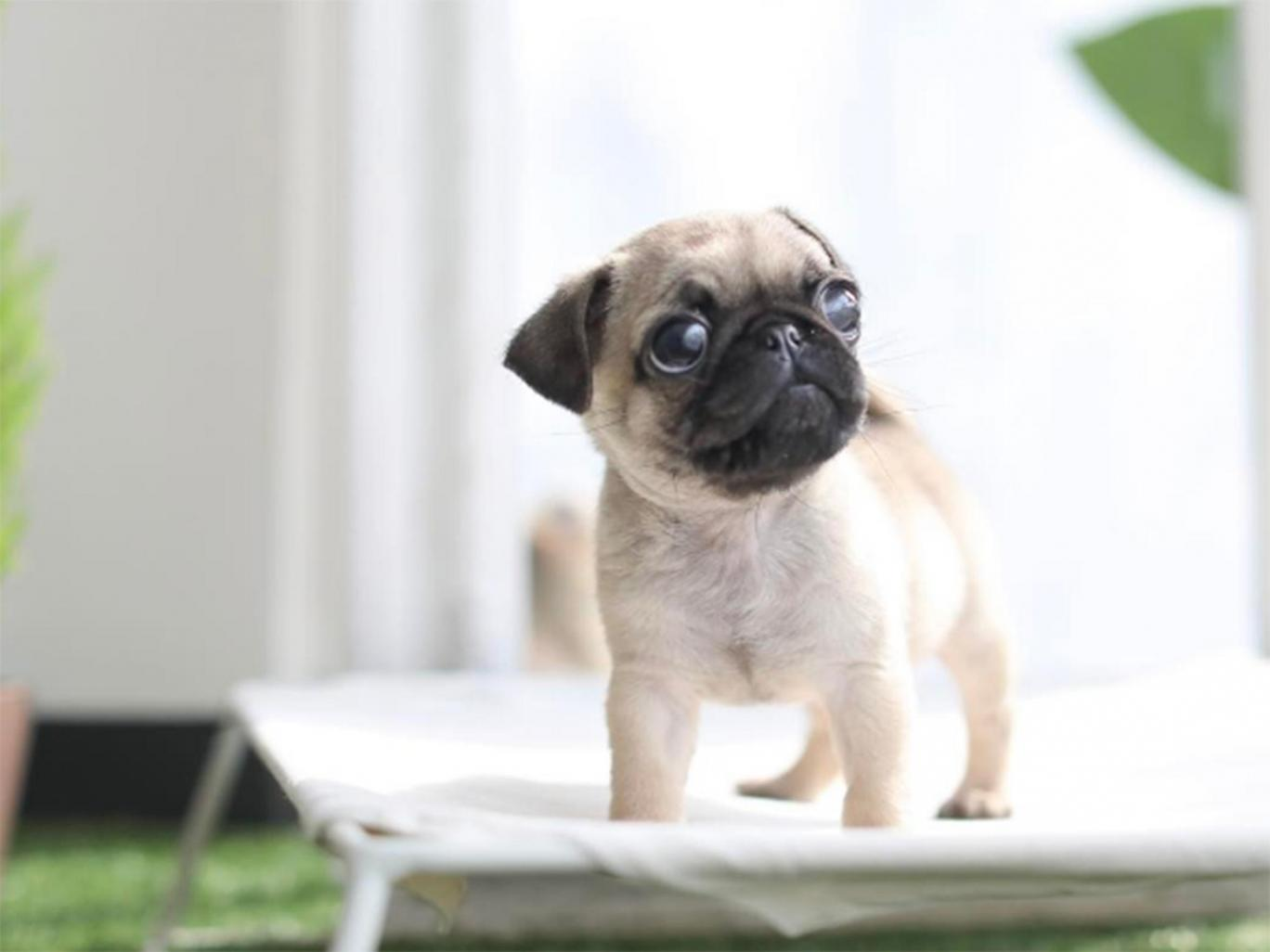Why you should never buy a teacup puppy | Queensland Times