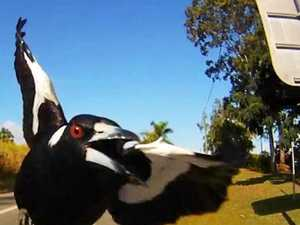 Duck, duck ... gotcha: Magpies on the move