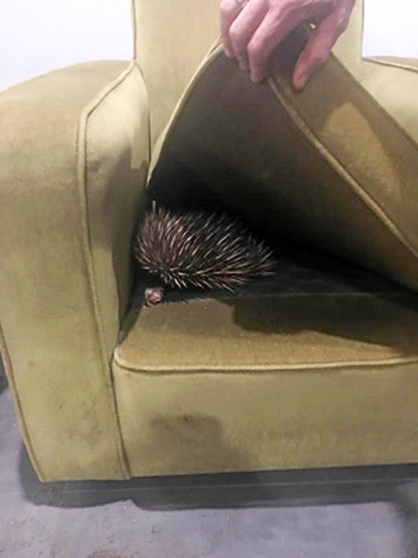 HIDING SPOT: An echidna found a hiding spot in a lounge in a home in the region.