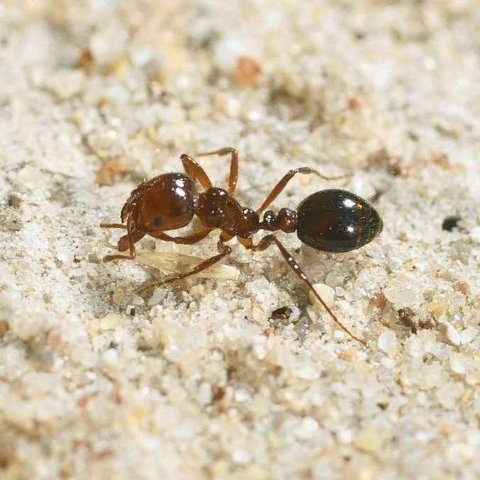 INVASIVE: Fire ants are about 2-6mm in length.