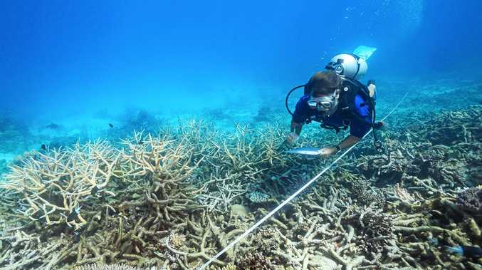 A scientist measures coral death rates following bleaching on the northern Great Barrier Reef.