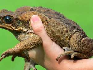 Weed-killer can 'super-charge' cane toads