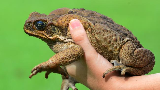 Backyard weed-killer can 'supercharge' cane toads. Picture: Evan Morgan
