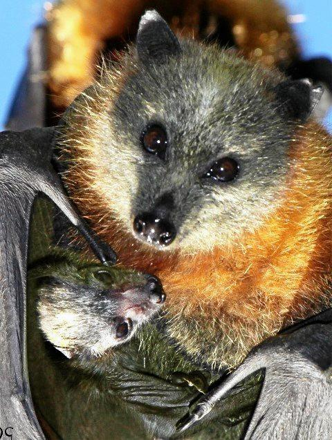 FAMILY AFFAIR: A mother flying fox and baby from the Bellingen Island camp.