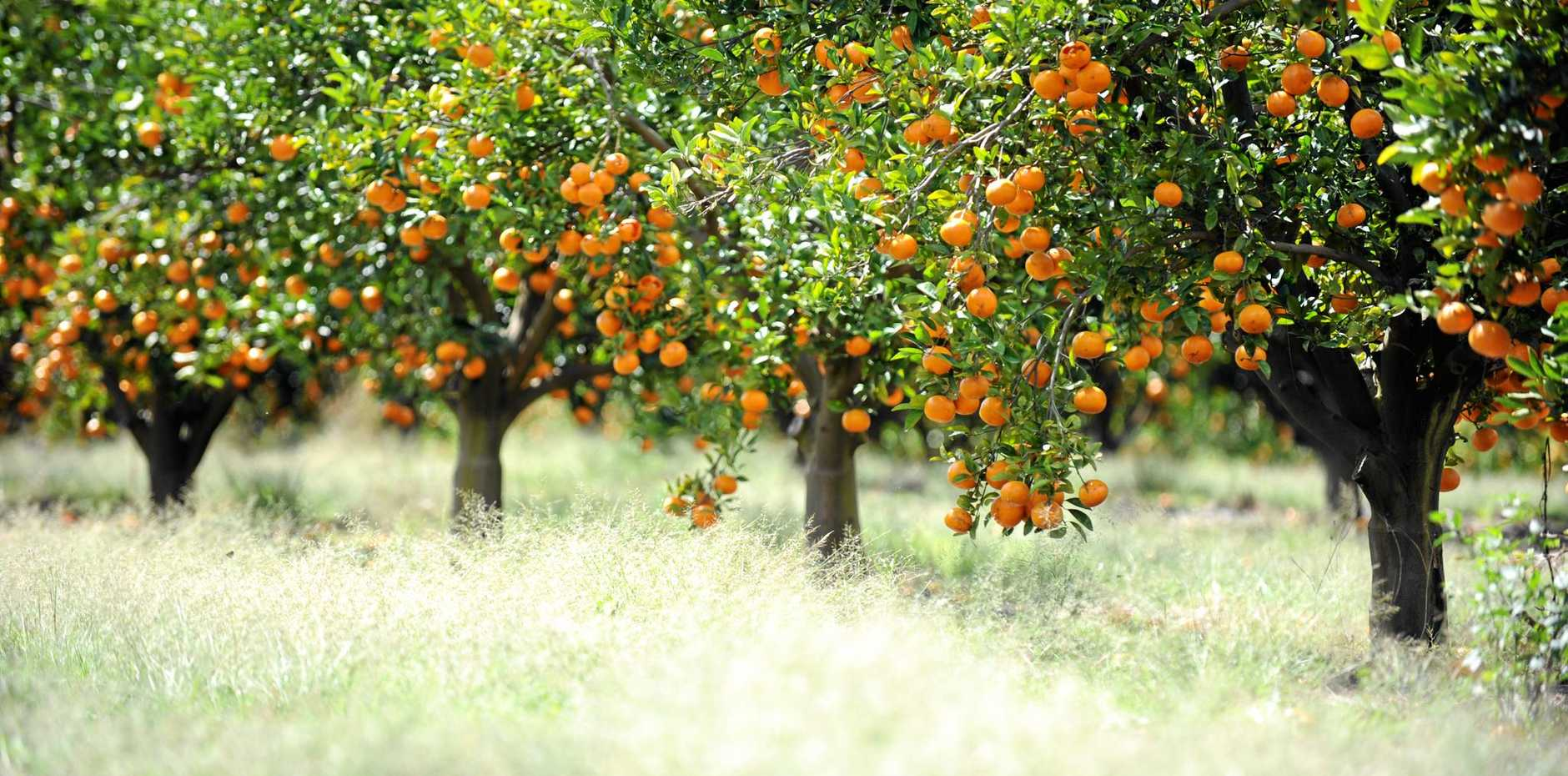Citrus trees are not just for commercial growers; they are great in home gardens too.