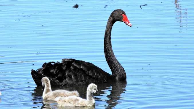 Black Swans.