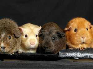 VIDEO, PHOTOS: The elusive world of elite guinea pigs