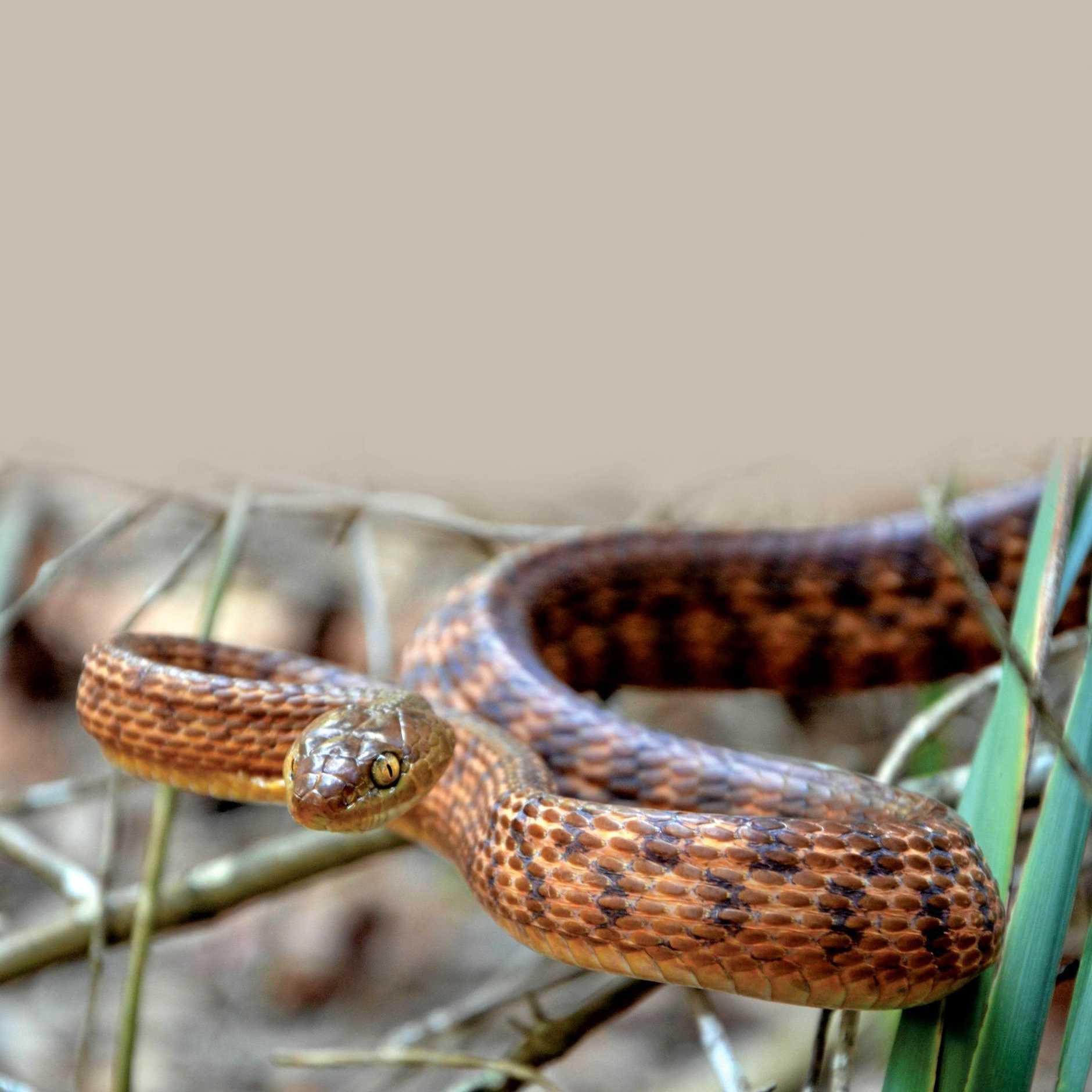 Brown Tree Snake. Photo Richie Gilbert