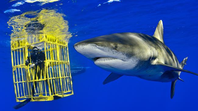 An oceanic white tip shark swims past biologist Wes Pratt inside a shark cage in the Bahamas.