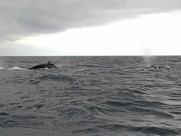 JUST PASSING BY: A pod of whales put on a show for a VMR crew during a fuel transfer yesterday.