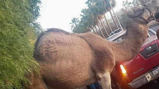 A runaway circus camel led NT Police on a merry chase before it was caught on a golf course.