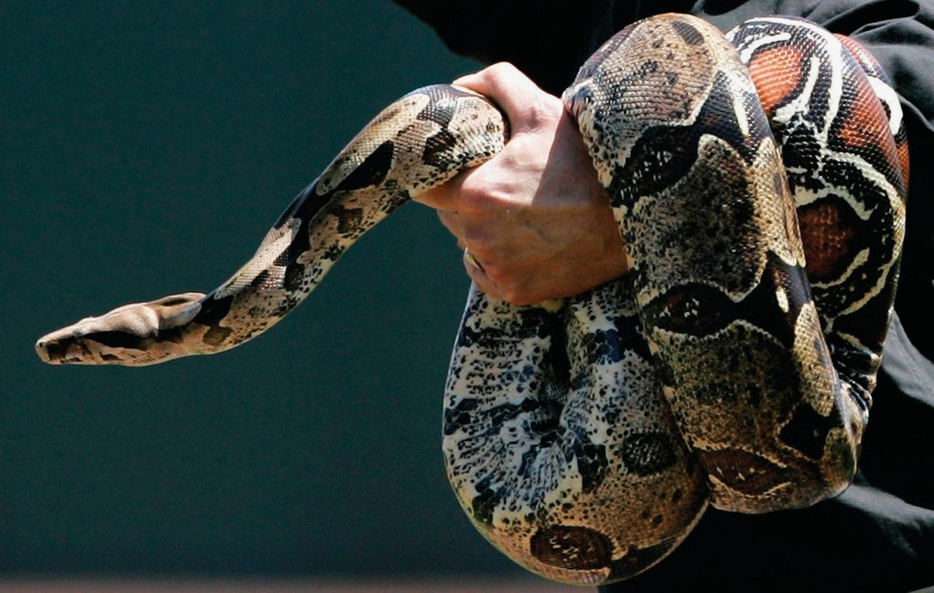 A red-tailed boa constrictor similar to one kept by a Sunshine Coast drug dealer.