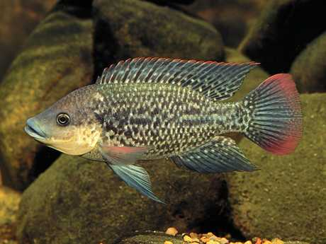 A Tilapia fish. Scientific name is Mossambicus