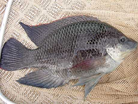 BEWARE. Tilapia - one of the world's top 100 worst introduced species.