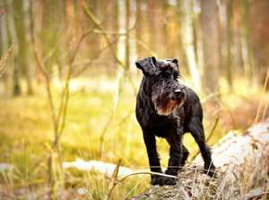 The best dog breeds for pet owners with allergies