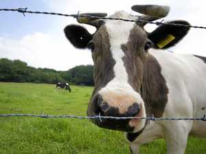 Man airlifted with head injury after run-in with cow