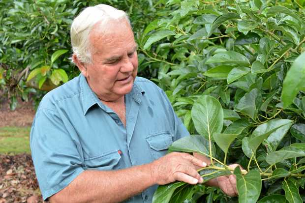 Greg Krenske of Farmgate Spring Creek offers some wisdom on Avocado growing, following more than 35 years' experience.