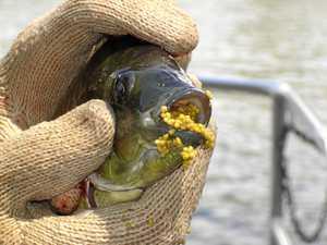 Invasive fish could threaten Boyne and Calliope rivers