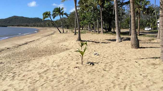 Coconut palms have been planted on the foreshore at Seaforth after mature trees were destroyed by Cyclone Debbie.