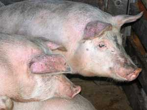 Mud-slinging continues for piggery project