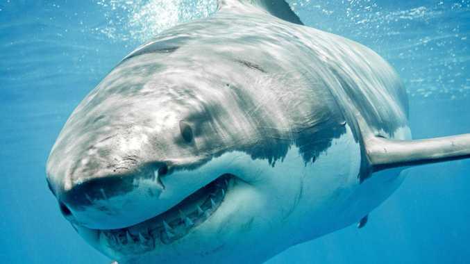 WATEGOS SHARK SPOTTING: Great White Shark