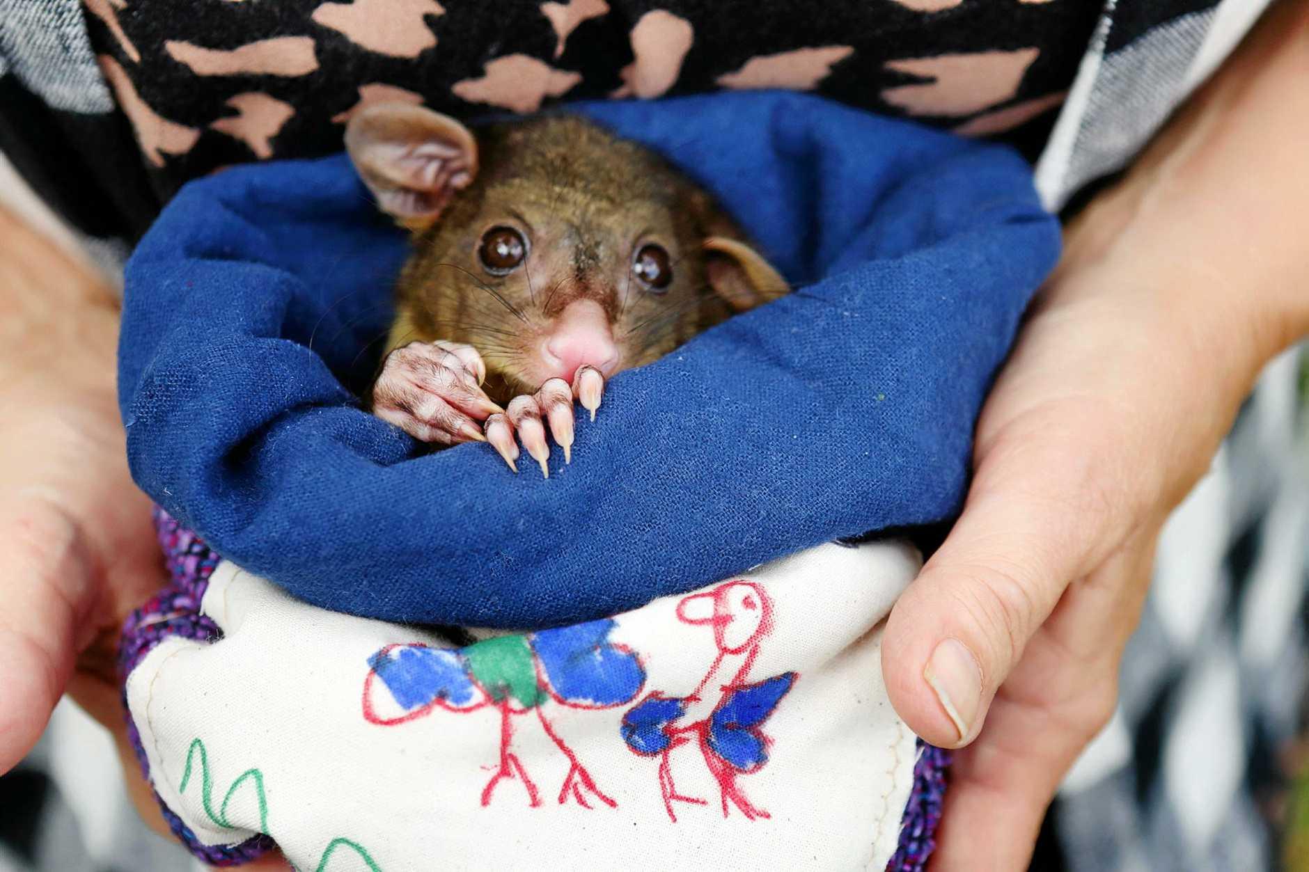 A possum visits Wallum Preschool.