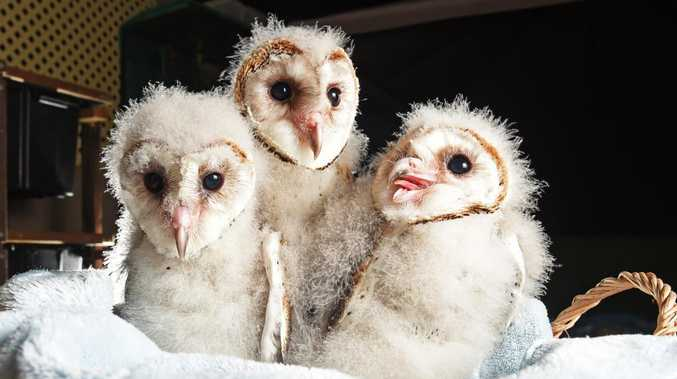 Baby Barn Owls that had the tree they were living chopped down.