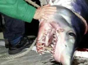 Rare Mako shark caught in Sydney Harbour