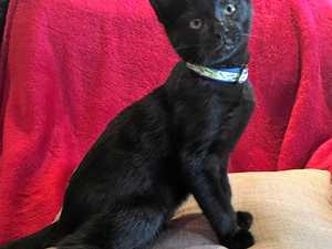 Handsome little kitten Milo needs a home
