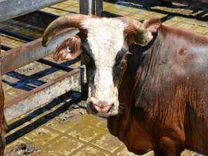 NO BULL: High rate of livestock injuries on our farms