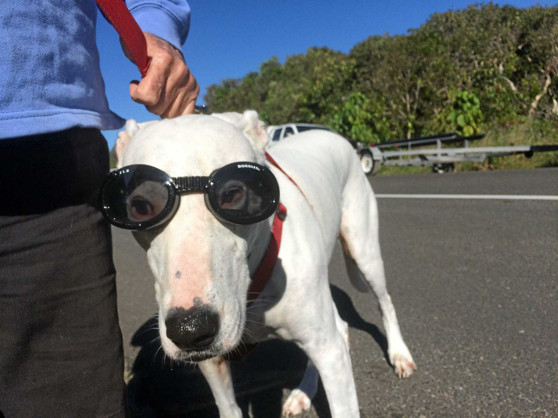 Lucy, the rescue dog, with her designer sunnies.