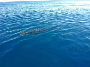Dead Whale near Fraser Island