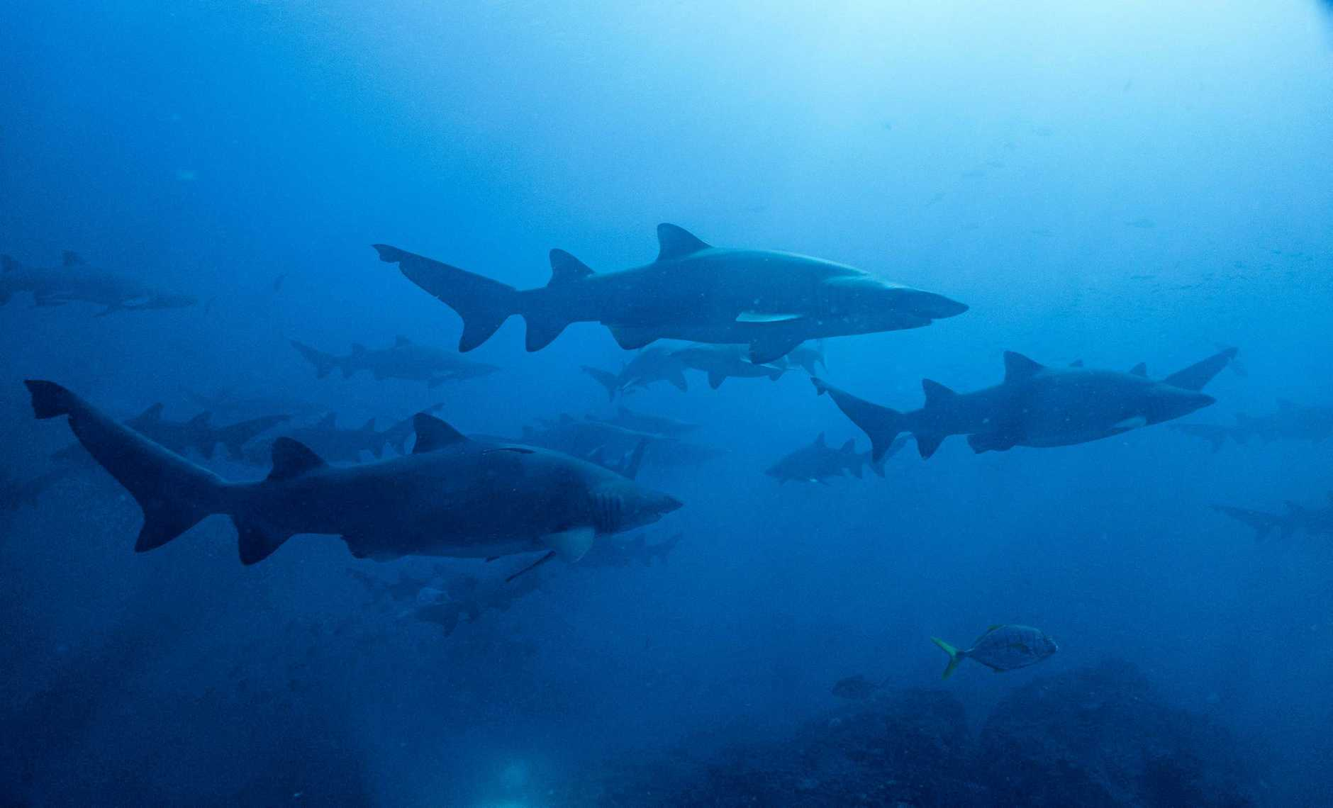 Dozens of sharks are being caught in control nets and drumlines along the Great Barrier Reef each month