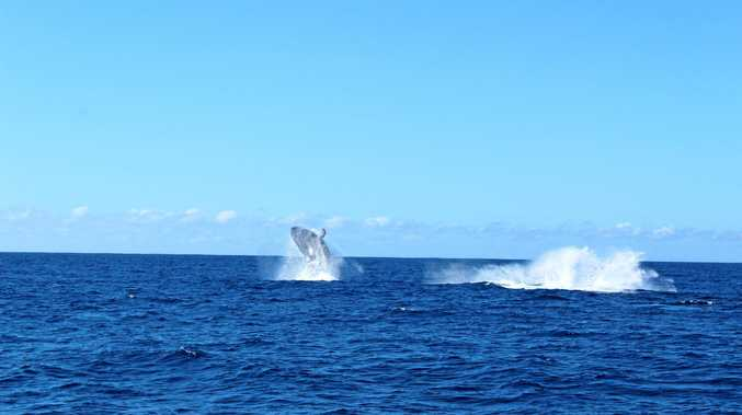 An image obtained Tuesday, May 23, 2017, of the first official humpback whale sighting off the Gold Coast for this year's annual whale-watching season. Experts are predicting a bumper season this year with humpback numbers returning to pre-whaling conditions. (AAP Images/ Ruby Communications) NO ARCHIVING