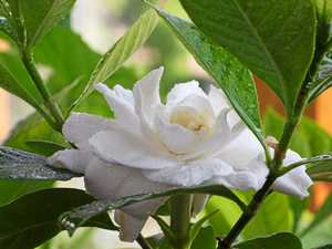 PALE BEAUTY: Gardenias are one of the world's most fragrant flowers, with its origins throughout Asia, the south Pacific, Australia and tropical Africa.