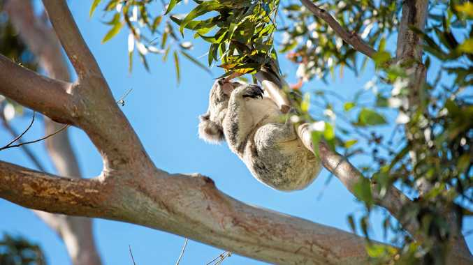 AT RISK: Environmentalists are calling for the immediate halt to logging operations to protect koalas.