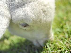 Warning for Rosewood landholders after lamb attacked