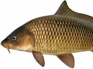 Preview of plan to control carp