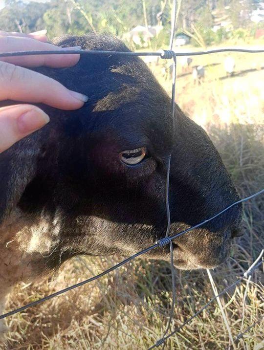 Beloved Ram Ellis Stanley before the Tamaree dog attack which killed him.