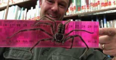 ANIMALS: Massive Huntsman Spider Given to Zoo For Venom Program February 17